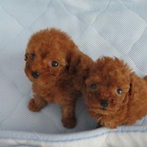 トイプードル子犬をお探しなら:2頭の女の子姉妹デビューしました