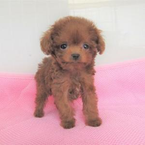 トイプードル オンナの子犬をお探しなら:専門犬舎よりご案内