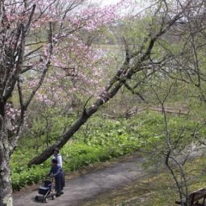 釧路の桜と湿原な中で 5月7日