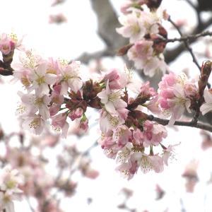 桜色のペンキ持って