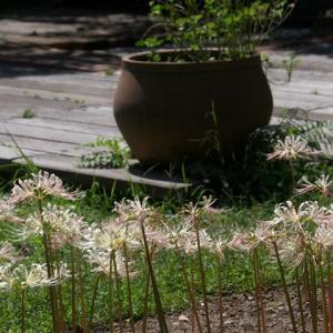 大阪府豊中市 服部緑地都市緑化植物園のリコリス