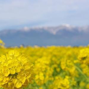 滋賀 なぎさ公園の菜の花から 兵庫 城崎温泉へ