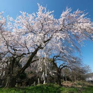 岩屋寺の枝垂れ桜