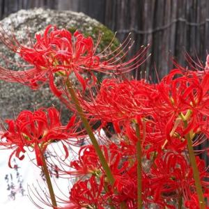 千本ゑんま堂 平野神社の彼岸花と北野天満宮の瑞饋神輿