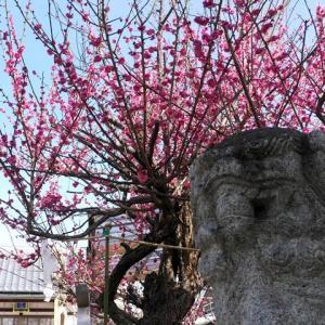 大阪府高槻市 阿久刀神社の夫婦梅と周辺の史跡