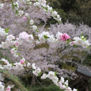 2021春 滋賀県 安土城跡の桜と桃の花
