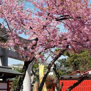 車折神社の梅と河津桜