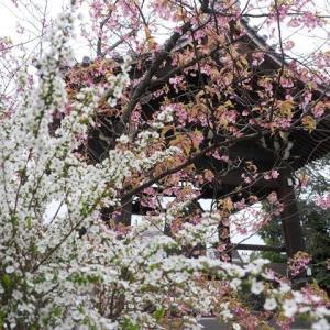 百萬遍知恩寺の桜と木瓜と雪柳