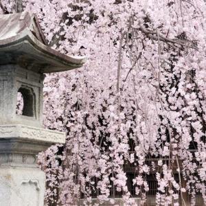 立本寺の枝垂れ桜から祇園白川の桜