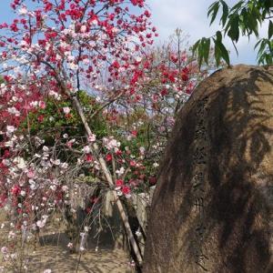 首途八幡宮の花桃 桜井公園 白龍園 百萬遍知恩寺の桜