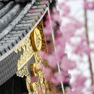 佛光寺の桜から鴨川と木屋町の桜