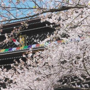 八坂神社 円山公園 知恩院の桜