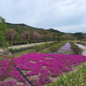 京丹後市 花郷OKADAの八重桜 芝桜 チューリップとネモフィラ