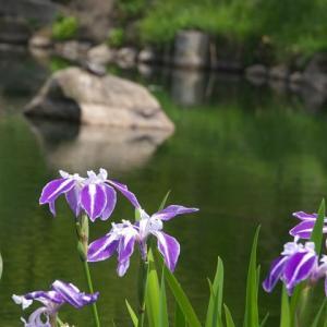 知恩院から円山公園の藤棚と花菖蒲