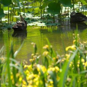 長岡天満宮の黄菖蒲 杜若 栴檀と睡蓮