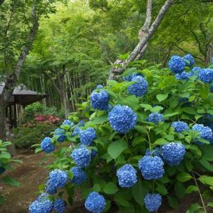 御池通の紫陽花から天龍寺の紫陽花と半夏生