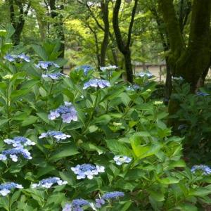 京都御苑の紫陽花 泰山木 捩花