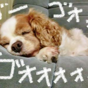 短頭種気道症候群だし睡眠時無呼吸もあるけど