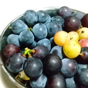 岡山の葡萄と桐梟釣果
