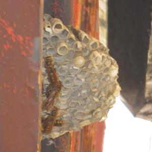 アシナガバチが巣からいなくなりました。