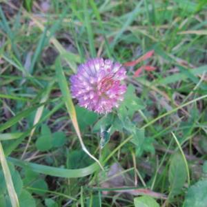 12月のムラサキツメクサ(紫詰草、アカツメクサ)