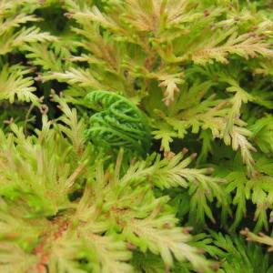 2年ぶりのフユノハナワラビ(冬の花蕨)、2020。=千葉市要保護生物指定種 ~ 千葉市緑区
