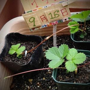 日日草は、夾竹桃科の毒が含まれている植物ですよ、気を付けて((+_+))