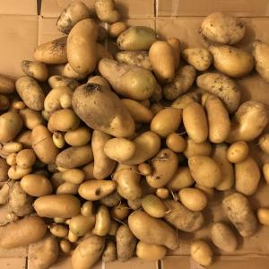 ジャガイモ収穫(*^^*)@畑