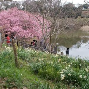 河津桜の三浦半島;再び小松ヶ池公園を訪れる