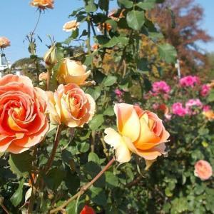精密検査から戻って;長女が老夫婦を日比谷花壇大船フラワーセンターへ招待・・・