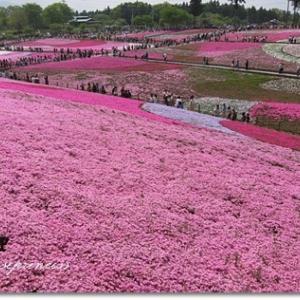 ●芝桜~♪