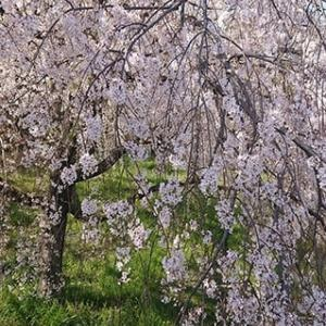 桜はキレイです(2コマあり)