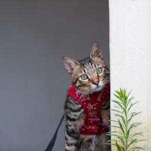 ラガーマン猫・・・太賀