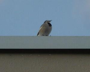 今日の野鳥 ハクセキレイ