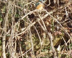 今日の野鳥 カワセミ 鶴ヶ城公園