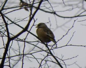 今日の野鳥 カワラヒワ 鶴ヶ城公園