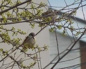 今日の野鳥 スズメ