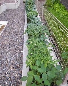 我が家の菜園 グリーンベルト