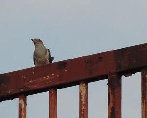 今日の野鳥 カッコー・オナガ