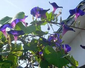 今日のアサガオ 紫・361~383