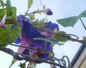 今日のアサガオ 紫・400~412