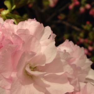 桜祭りin…