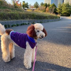 シニア犬と、もったもった散歩♪