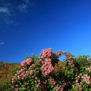 イワシバナ咲く