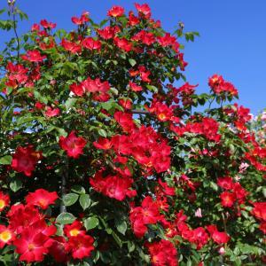バラの季節到来