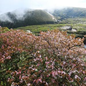 桜満開の秋田駒ヶ岳