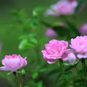世界に誇るミニのつるバラ