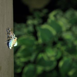 わが家で蝉が羽化