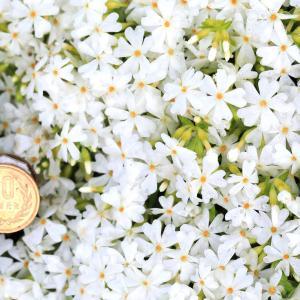 芝桜・モンブランホワイト