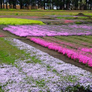 わが家の芝桜園、満開はまだ先